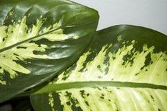 листья dieffenbachia Стоковые Фотографии RF