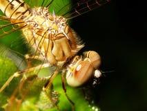 листья dragonfly зеленые Стоковое Изображение RF