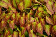 Листья Epimedium Стоковые Изображения