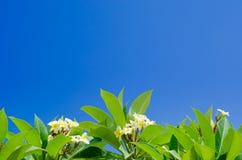 Листья Frangipani Стоковая Фотография RF