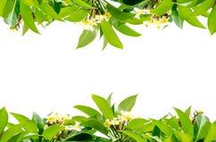 Листья Frangipani Стоковые Изображения