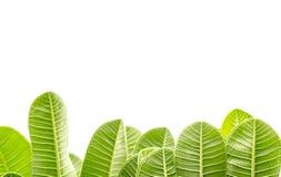 Листья Frangipani. Стоковое Изображение