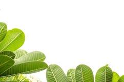 Листья Frangipani. Стоковые Фото