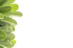 Листья Frangipani. Стоковое Изображение RF