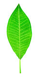 Листья Frangipani Стоковое фото RF