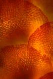 Листья Frullania, густолиственный liverwort, в microg поляризации Стоковое Изображение