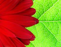 листья gerber Стоковые Фото