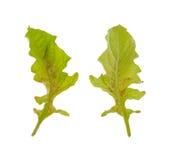 листья gerbera маргаритки больные Стоковое Изображение