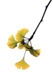 листья gingkgo Стоковые Фотографии RF