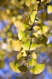 листья gingkgo Стоковое Изображение