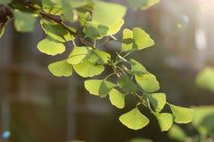 листья gingko Стоковое фото RF