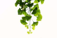 листья ginkgo Стоковые Изображения RF