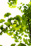 листья ginkgo Стоковое Изображение