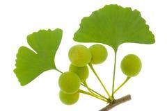 Листья Ginkgo Стоковые Фото