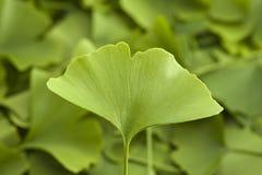 листья ginkgo Стоковая Фотография RF