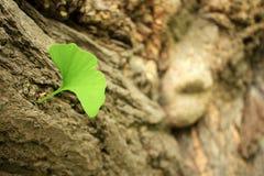листья ginkgo biloba Стоковые Изображения RF
