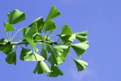 листья ginkgo biloba Стоковое Изображение