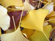 листья ginko крупного плана Стоковые Изображения RF