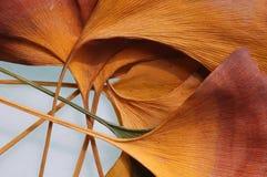 листья ginko стоковые фотографии rf