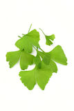листья ginko стоковое изображение rf