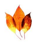 листья gleam Стоковое Изображение RF