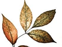 листья grunge Стоковое Изображение RF