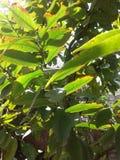 Листья Guava Стоковое Изображение RF