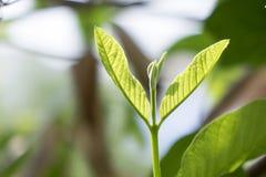 Листья 3 Guava Стоковые Фотографии RF