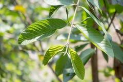 Листья 1 Guava Стоковые Фотографии RF