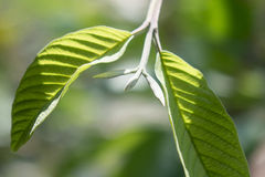Листья 2 Guava Стоковые Фото