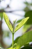 Листья 4 Guava Стоковая Фотография