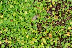 Листья Hance christinae Lysimachia под солнечностью стоковое фото rf