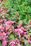Листья Hibiscus Стоковая Фотография