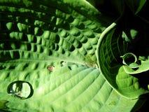 листья hosta Стоковое фото RF