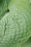 листья hosta Стоковая Фотография
