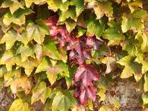 Листья ily Стоковые Фото