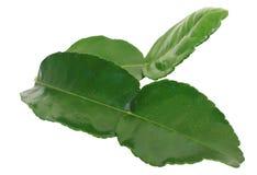 Листья Kaffir Стоковая Фотография RF