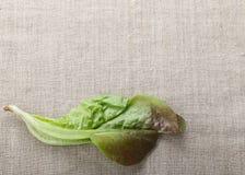 Листья Lactuca sativa Стоковые Изображения RF