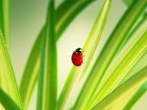 листья ladybird Стоковое Фото