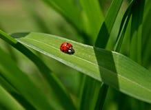 листья ladybug Стоковая Фотография