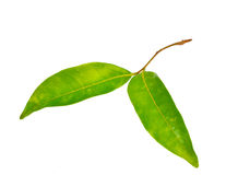 Листья Lychees изолированные на белой предпосылке Стоковое Изображение