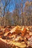 Листья marple осени в парке Стоковое Изображение RF