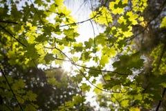 Листья Marple Стоковая Фотография