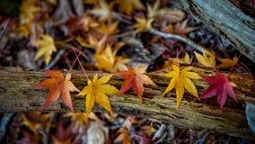 Листья Momiji клена Стоковая Фотография