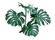 Листья Monstera, лоза тропического завода вечнозеленая изолированная на белой предпосылке, пути клиппирования стоковые изображения rf