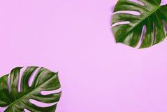 Листья monstera филодендрона на фиолетовой предпосылке стоковые изображения rf
