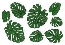 Листья Monstera эскиза тропического завода Стоковые Изображения RF