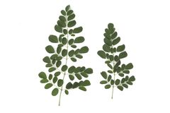 Листья Moringa имеют целебные свойства изолированные на белой предпосылк стоковое изображение rf