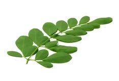 Листья Moringa стоковое изображение rf