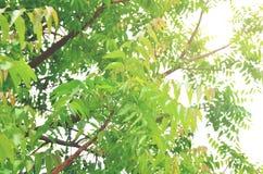 Листья Neem в природе Стоковое Изображение